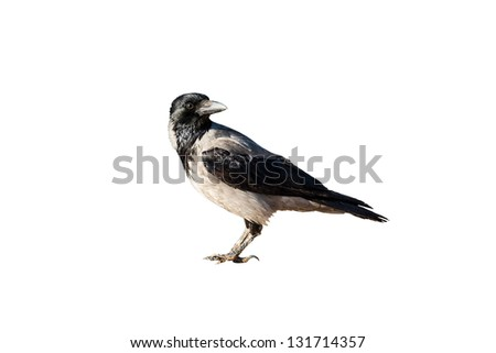 crow isolated on white