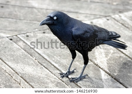 Crow standing on wooden deck - stock photo