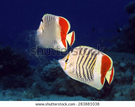 Crown butterflyfish couple and tasty jelly meal - stock photo