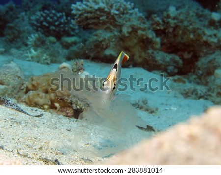 Crown butterflyfish nipping at passing jellyfish - stock photo