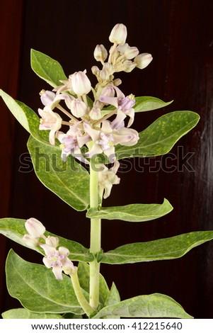 Crown flower (Calotropis gigantea)  in black background. - stock photo