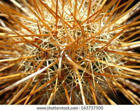 Crown of a hedgehog cactus filled with long needles - stock photo