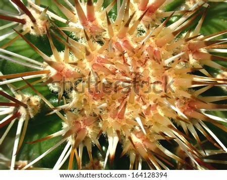 Crown of a hedgehog cactus growing new spines - stock photo