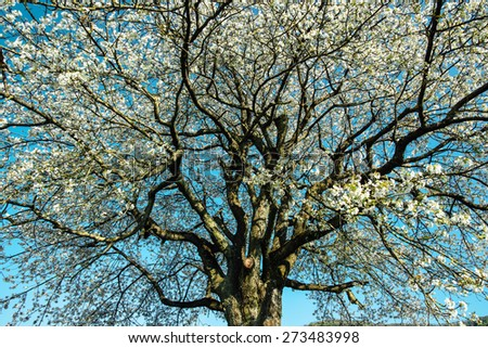 Crown of blossoming cherry tree in spring