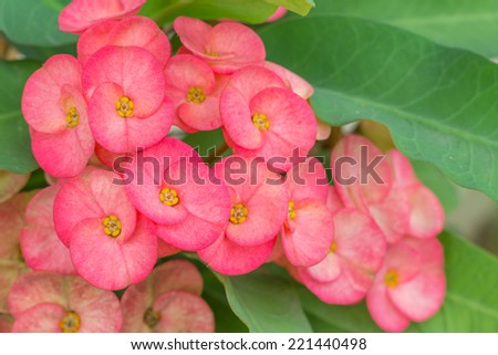 Crown of thorns flower - stock photo