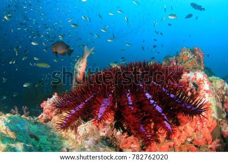 Crown Of Thorns Starfish Damage