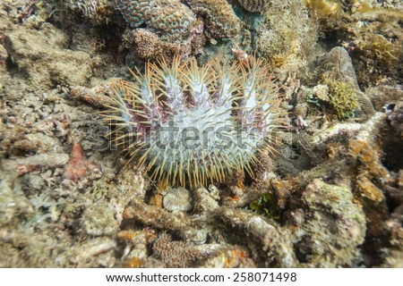 crown-of-thorns starfish (Acanthaster planci)nocturnal sea star coral polyps - stock photo