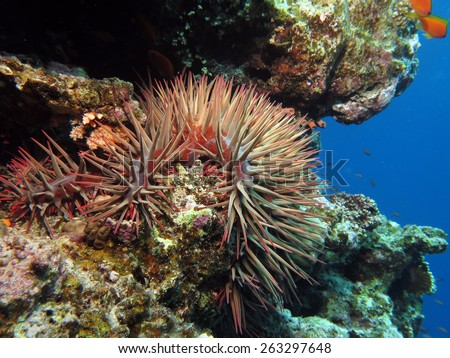 Crown of thorns starfish (Acanthaster plancii) in the Blue Hole, Dahab - stock photo