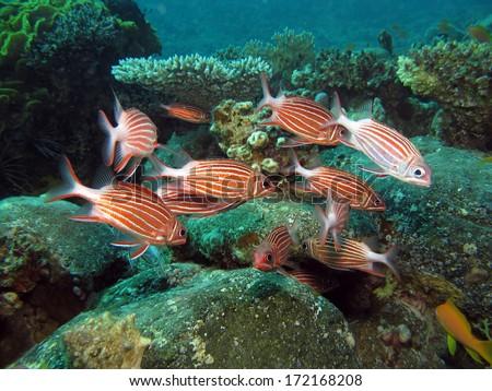 Crown squirrelfish (Sargocentron diadema) school together - stock photo