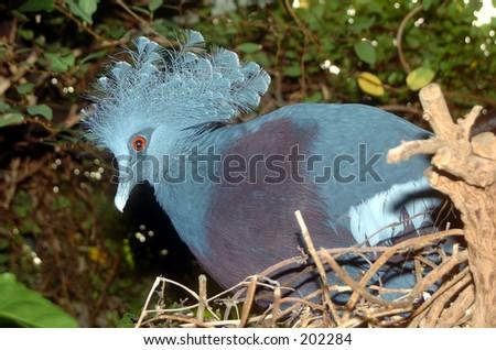 Crown Victoria Pigeon - stock photo