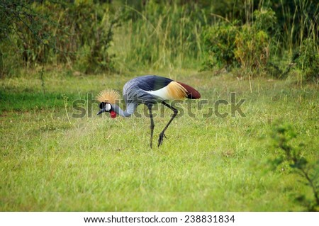 Crowned crane on green grass in Queen Elizabeth National Park, Uganda - stock photo