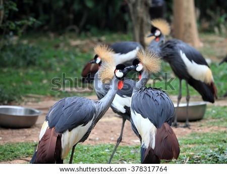 Crowned Crane - The National Bird of Uganda - stock photo