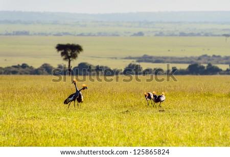 Crowned-Cranes group in Masai Mara Kenya - stock photo