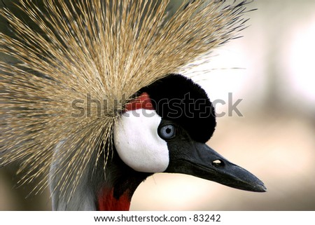 Crowned-grou in Lisbon zoo - stock photo