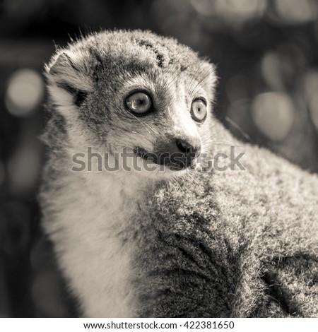 crowned lemur (Eulemur coronatus)  - stock photo