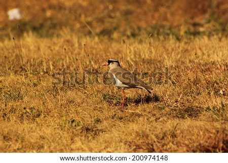 Crowned plover. - stock photo