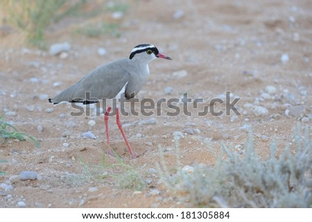 Crowned Plover or Lapwing (Vanellus coronatus) in the riverbed of the Aoub River, a fossil river in the Kalahari desert, kgalagadi Transfrontier Park, Northern Cape, South Africa - stock photo