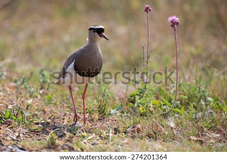 Crowned plover walking on short grass looking for insets to eat - stock photo