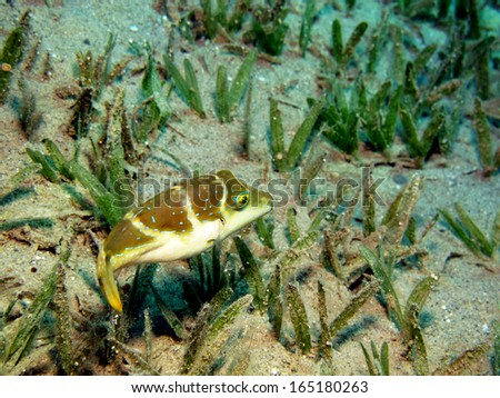 Crowned toby on seagrass