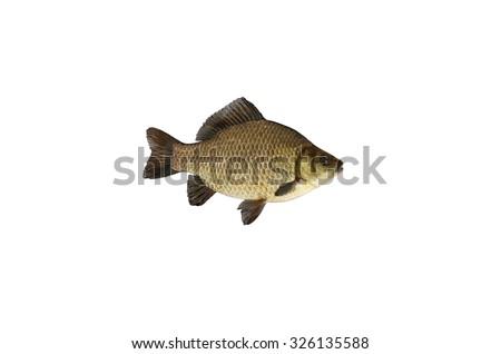 crucian fish isolated on white background - stock photo