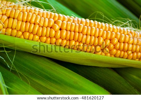 crude yellow corn with green leaves and hair lies on several closed cob,   not cleared, natural look, corn