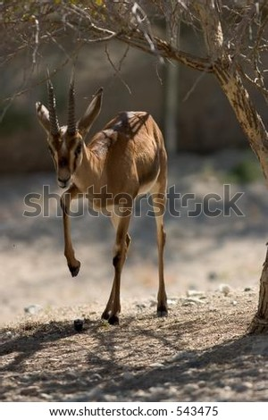 Cruzier's Gazelle Pawing at the Dirt