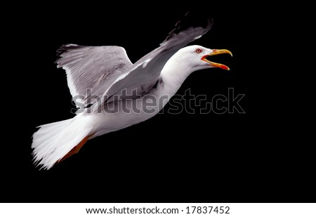 crying seagull in flight isolated on black
