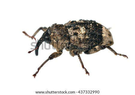Cryptorhynchus lapathi weevil isolated on white.
