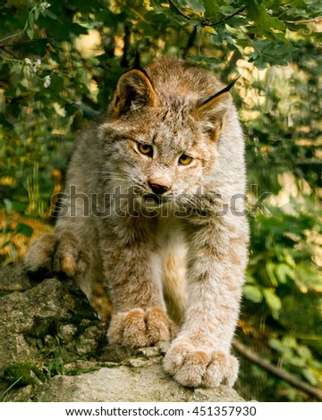 cub canadian lynx walking along the trunk of the felled tree - stock photo