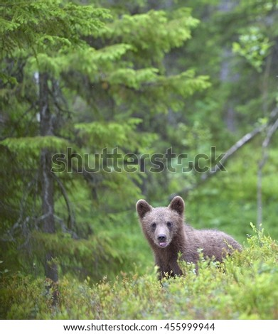 Cub of Brown bear (Ursus Arctos) in the summer forest. Natural green Background  - stock photo