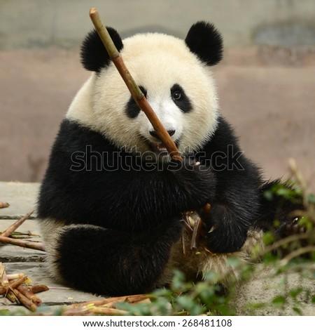 Cub of Giant panda bear eating bamboo Chengdu, China  - stock photo