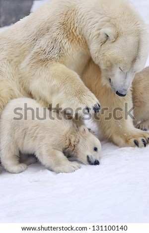 Cub of polar bear under mother protection - stock photo