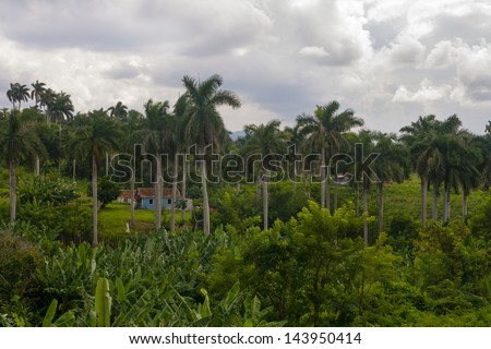 Cuba field with palmar and rustic construction - stock photo