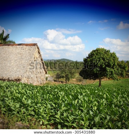 Cuba - tobacco plantation and thatched rural huts in Vinales National Park. UNESCO World Heritage Site. - stock photo
