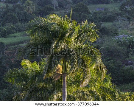 Cuba, Vinales, Palm Tree - stock photo