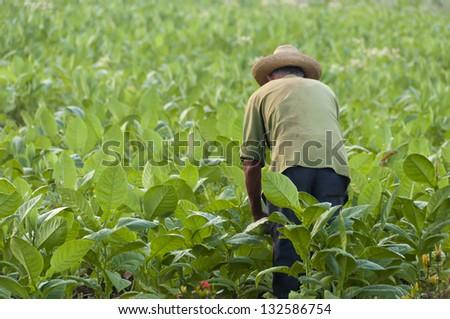 Cuban farmer on the tobacco field - stock photo
