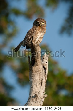 Cuban Pygmy-owl perched on tree at Zapata in Cuba - stock photo