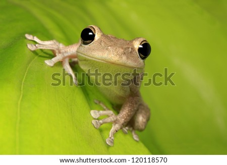 Cuban Tree Frog Clinging to a Backlit Leaf - stock photo