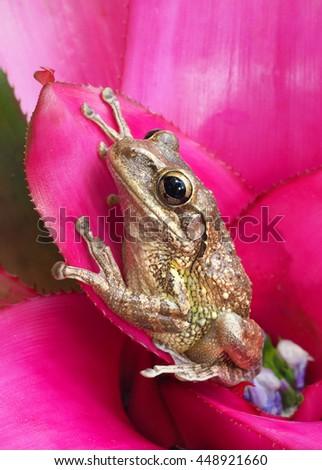 Cuban Tree Frog On a Tropical Pink Bromeliad - stock photo