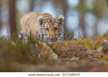 cube tiger is trying to crawl - stock photo