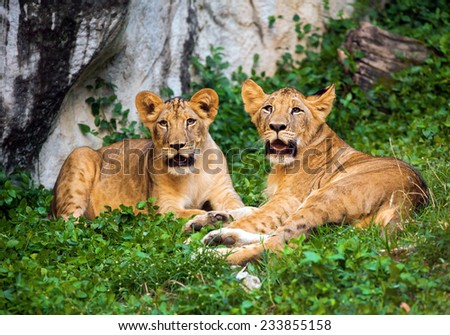 cubs lion - stock photo