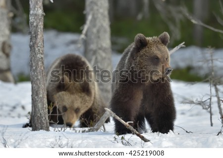 Cubs of Brown Bear (Ursus arctos) after hibernation on the snow in spring forest. - stock photo