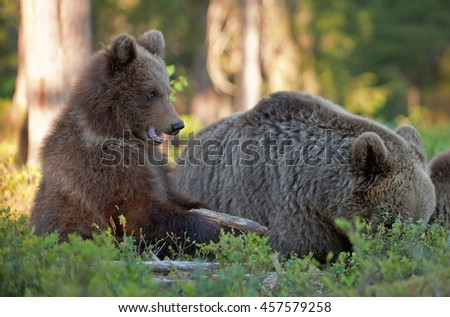 Cubs of Brown bear (Ursus Arctos) in the summer forest. Natural green Background