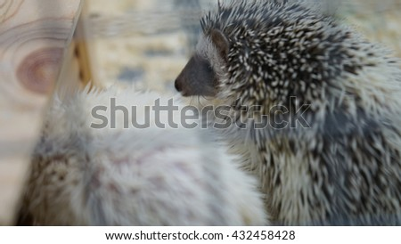 Cubs urchins. This fun photo of young cute hedgehogs. - stock photo