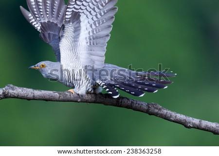 Cuculus canorus, Common Cuckoo. Wild bird in a natural habitat. Wildlife Photography. - stock photo