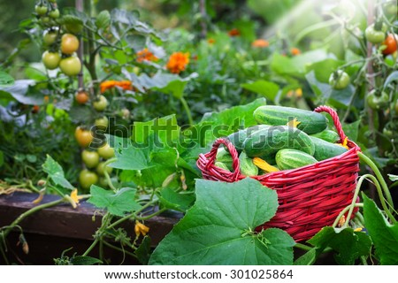 Cucumber crop on raised bed, tomato  - stock photo