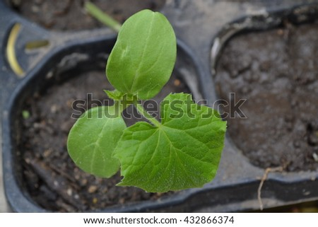 Cucumber. Green shoots. Cucumis sativus