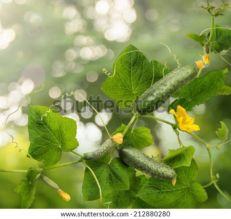 Cucumber is widely cultivated plant in gourd family Cucurbitaceae. Vine with fruits varying degrees of maturity, fading yellow flowers, lush foliage, curled tendrils. Closeup view  - stock photo