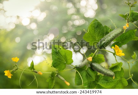 Cucumber is widely cultivated plant in gourd family Cucurbitaceae. Vine with fruits varying degrees of maturity, fading yellow flowers, lush foliage, curled tendrils. Closeup view with space for text  - stock photo