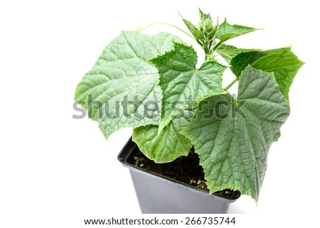 cucumber isolated white background healthy organic farming fertilizers Organic fertilizers. Healthy Lifestyle - Healthy eating - stock photo